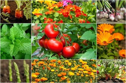 Tomato_Companion_Plants.jpg