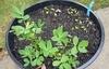 plant_arachis_hypogaea_pot.jpg