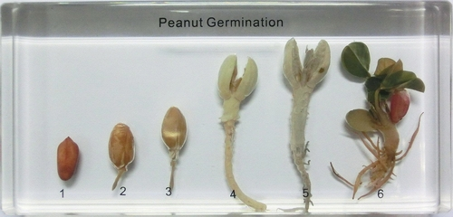 Peanut_germination.JPG