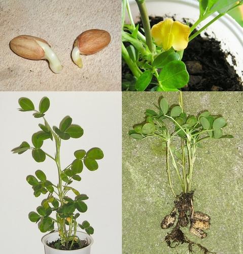 arachis_hypogaea_plant.jpg